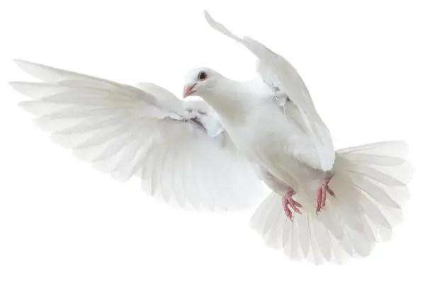 why pigeon peace symbol hindi, why dove peace symbol hindi, kabootar ko shanti ka pratik kyon, dove ko shanti ka pratik kyon, why pigeon love symbol hindi, why dove love symbol,