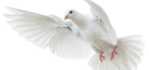 why pigeon peace symbol hindi, why dove peace symbol hindi, kabootar ko shanti ka pratik kyon, dove ko shanti ka pratik kyon, why pigeon love symbol hindi, why dove love symbol,