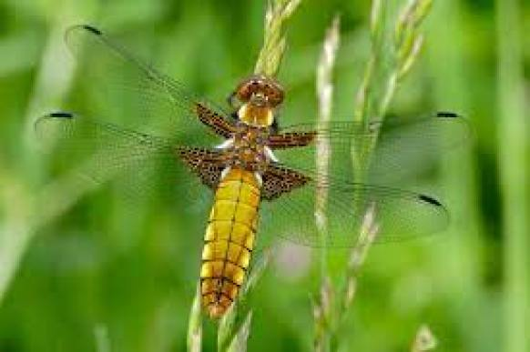This image has an empty alt attribute; its file name is female-broad-bodied-chaser.jpeg