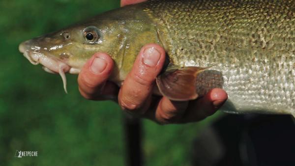 pêche barbeau method feeder riviere sauvage un joli barbeau