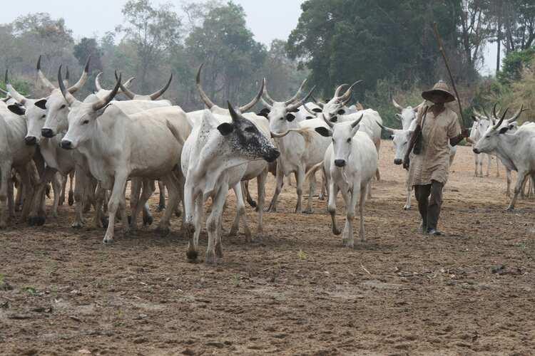 Panic as 4 herdsmen shot dead, hundreds of cows stolen as gunmen attack herders' settlement in Anambra