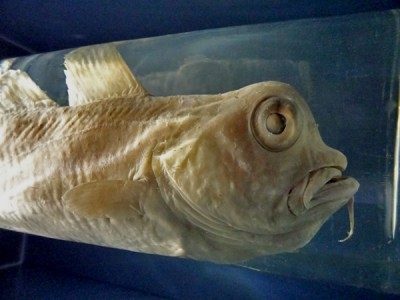 Detail des Fisches mit der mopsköpfigen Verwachsung