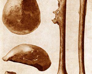 erste Funde von Homo erectus