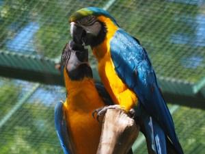Zwei Gelbblaue Aras im Zoo