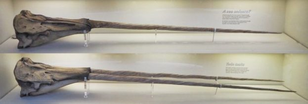 Zwei Narwalschädel, einer trägt den linken, einer trägt zwei Stoßzähne