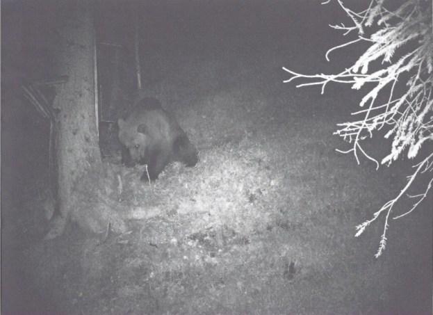 SW-Bild einer Wildkamera zeigt einen Bären, der am Fu0e eines Baumes etwas zu fressen scheint
