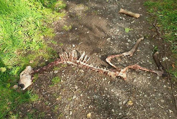 Ein Teil eines Hirschskelettes liegt auf einem Weg