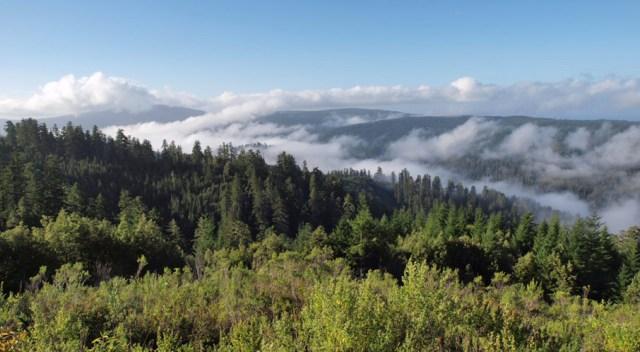 Blick über Redwood-Wälder mit tiefhängenden Wolken