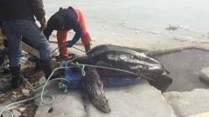 Die Schildkröte wird auf einer Palette aus dem Wasser gezogen