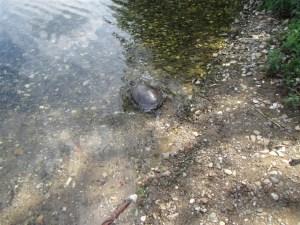 Eine Schildkröte auf dem Weg in einen See