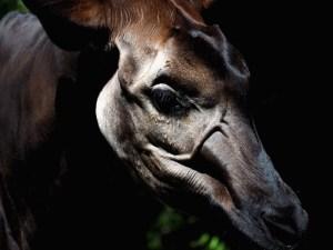 Okapi.Kopf im Streiflicht