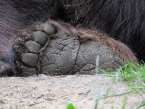 Hinterpfote eines liegenden Braunbären