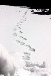 Spuren eines Bären im Schnee, die vom Beobachter wegführen