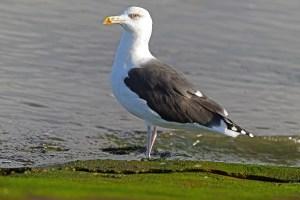 Große, schwarzflügelige Möwe steht am Ufer