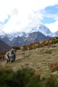 Ein Yak auf einer kargen Weide vor schneebedeckten Bergen