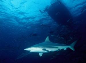 Kleiner Schwarzspitzenhai im Wasser unter einem Taucherboot