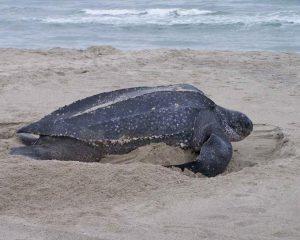 Eine Lederschildkröte am Strand auf dem weg ins Wasser