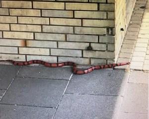 Rot-Schwarze Schlange an einer Gebäudeeecke