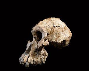 Prähominider Schädel im linken Teilprofil vor schwarzem Hintergrund