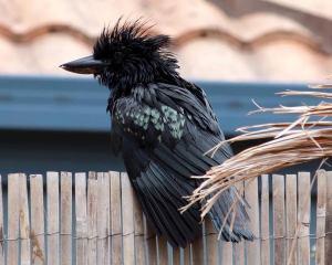 Ein schwarzer Vogel sitzt auf einem Zaun