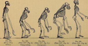 Menschenaffenskelette nach Ernst Haeckel