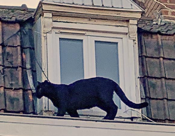 Schwarzer Panther vor dem Fenster einer Dachwohnung