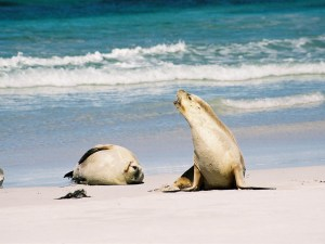 Australischer Seelöwe ruft
