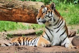Tiger im Zoo Nürnberg
