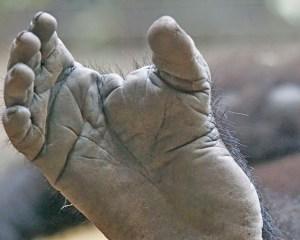 Fußsohle eines Gorillas