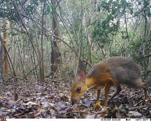 Vietnam-Kantschil im Wald