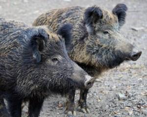 Zwei Europäische Wildschweine