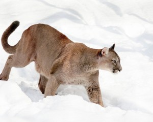 Puma im Schnee
