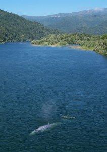 Grauwal vor Kalifornien