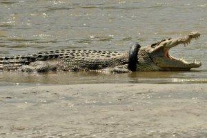 Krokodil im Reifen