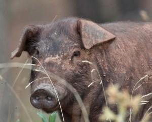 spanisches, freilaufendes Schwein