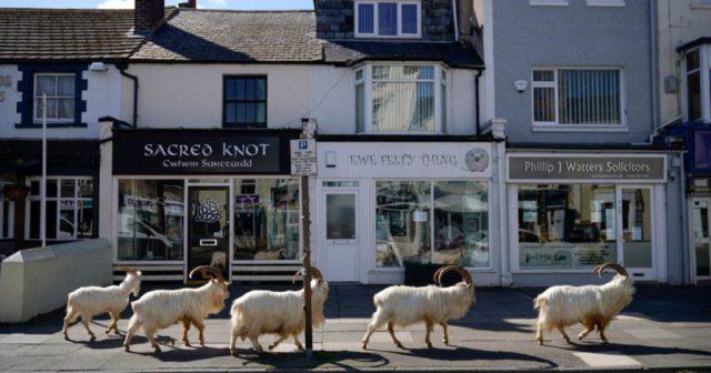 Wilde Ziegen in einer Stadt in Wales