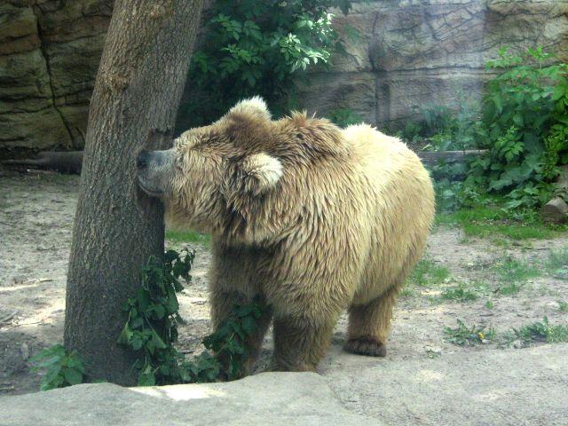 Isabellbär im Zoo Kiev