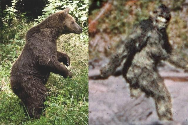 Vergleich Braunbär Bigfoot