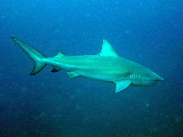 Bullenhau Carcharhinus leucas