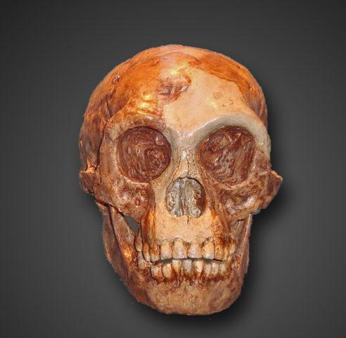 Homo floresiensis-Schädel