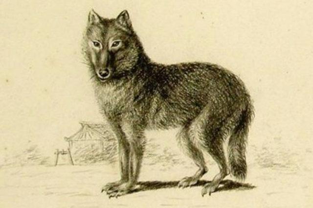 Der Honshu-Wolf