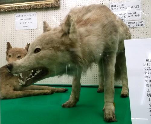 Hokkaido-Wolf