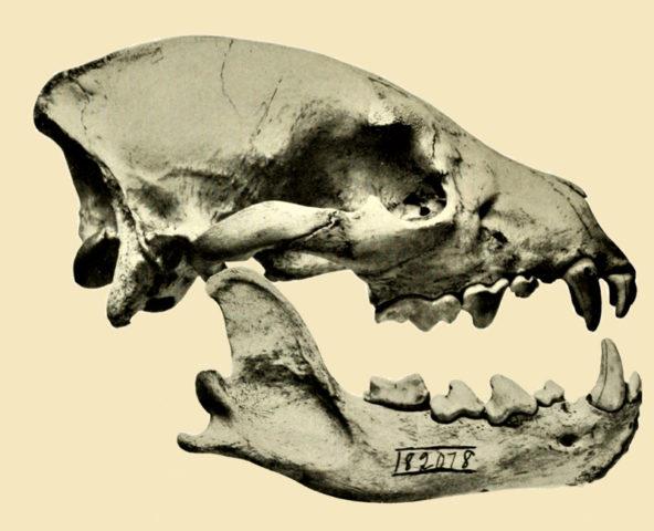 Hyänenschädel mit deutlich erkennbarem Gebiss