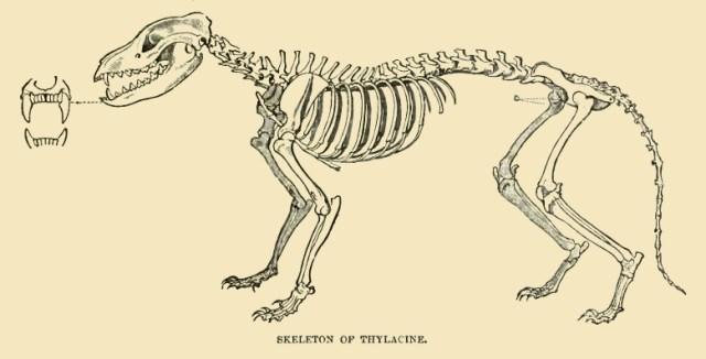 Thylacinus Skelett