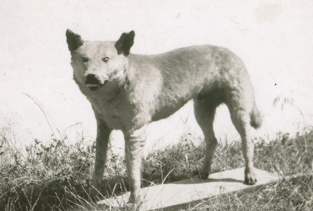 Foto der Trophäe des Tantalooga Tiger