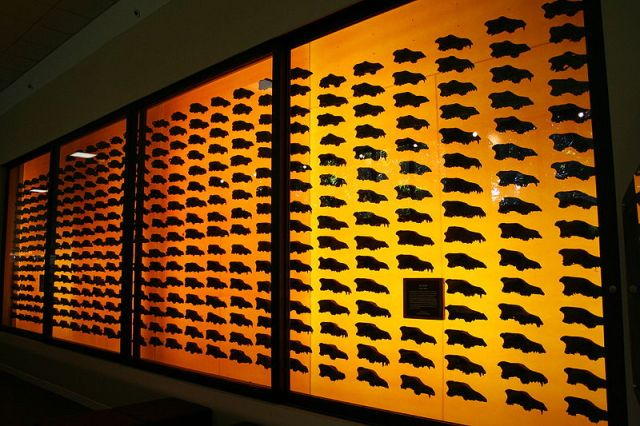 Dire-Wolf schädel aus La Brea