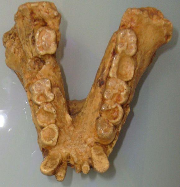 Unterkiefer des Gigantopithecus