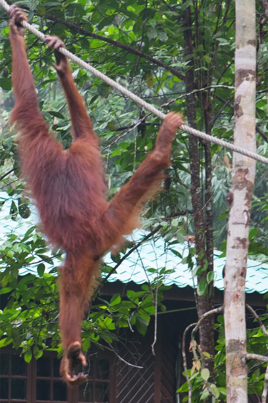 Orang Utan von hinten, ist er der Orang Mawas?