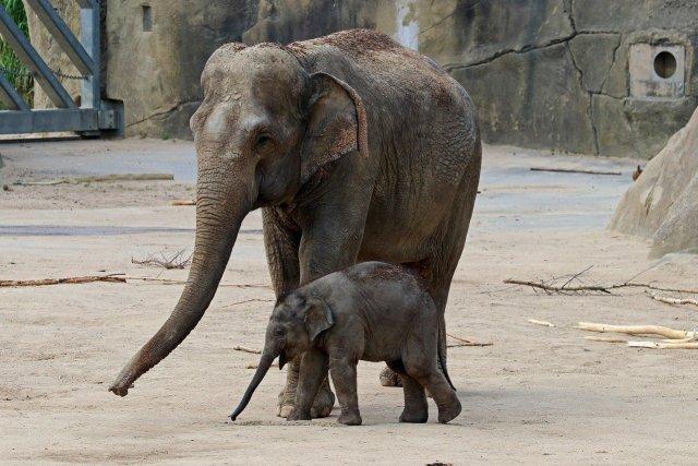 Asiatische Elefanten im Zoo