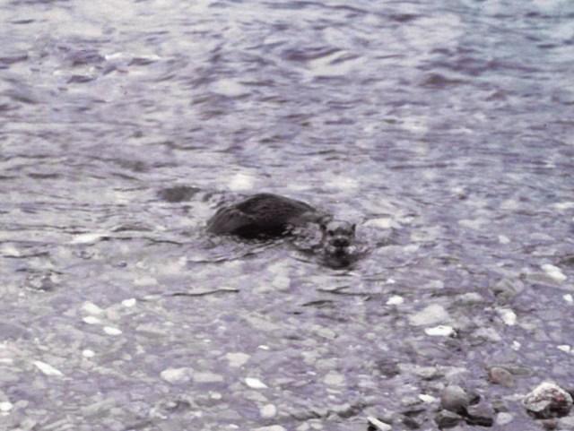 Japanischer Fischotter